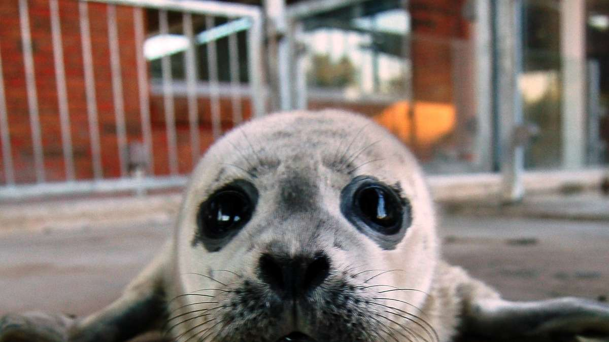 Seehund Baby