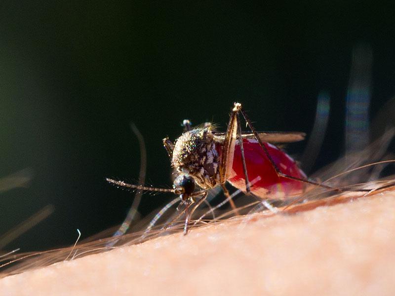 Mücken Eier