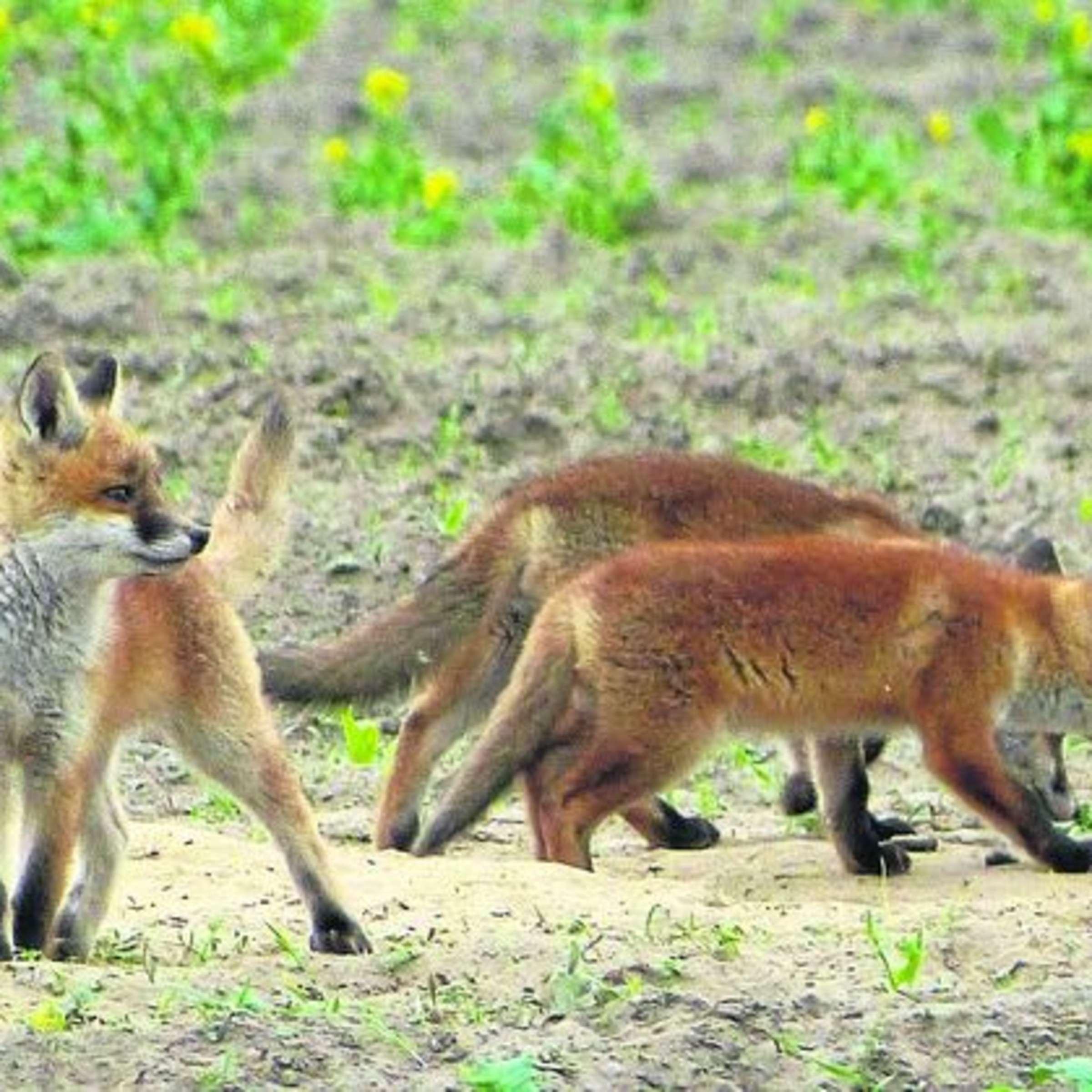 Fuchswelpen Haben Oft Ein Kurzes Leben Jager Schutz Gefahrdeter Arten Twistringen