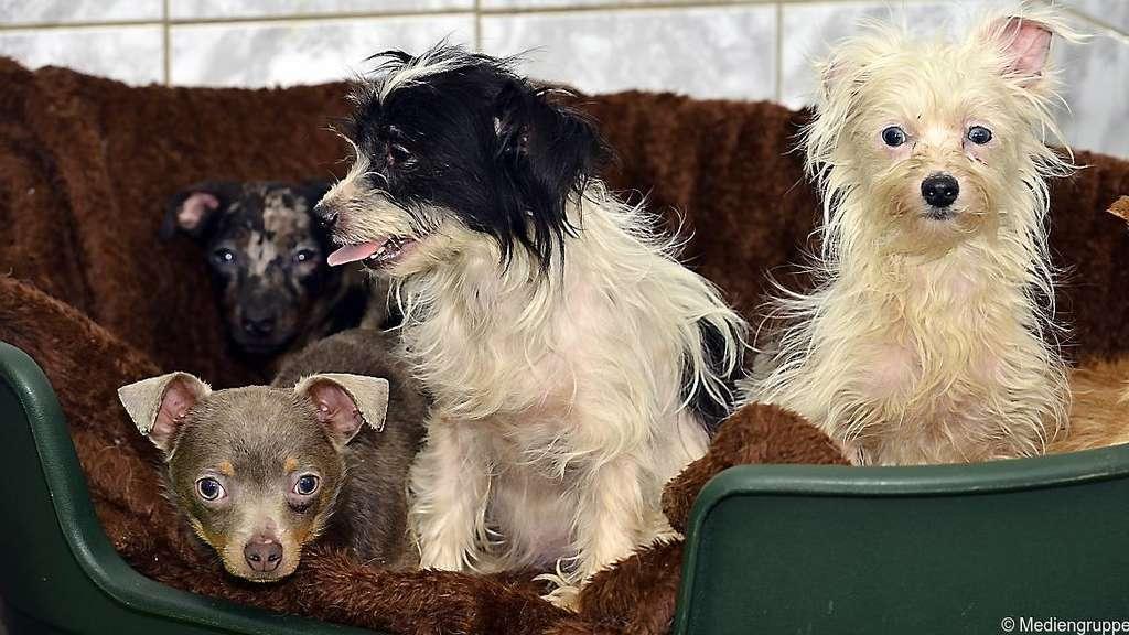 Chihuahua-Mischlinge in Ahausen gefunden: Rotenburger