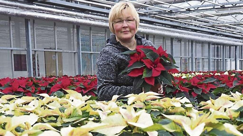 verkauf von weihnachtssternen beginnt pflanze stammt aus. Black Bedroom Furniture Sets. Home Design Ideas