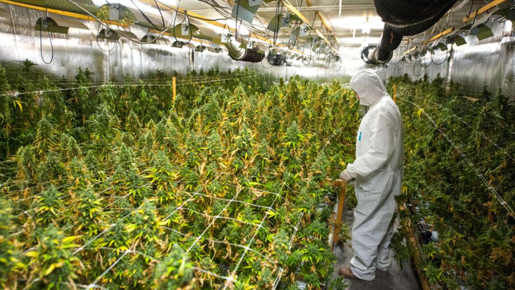polizei stellt deutlich mehr cannabis sicher illegaler anbau von pflanzen boomt niedersachsen. Black Bedroom Furniture Sets. Home Design Ideas