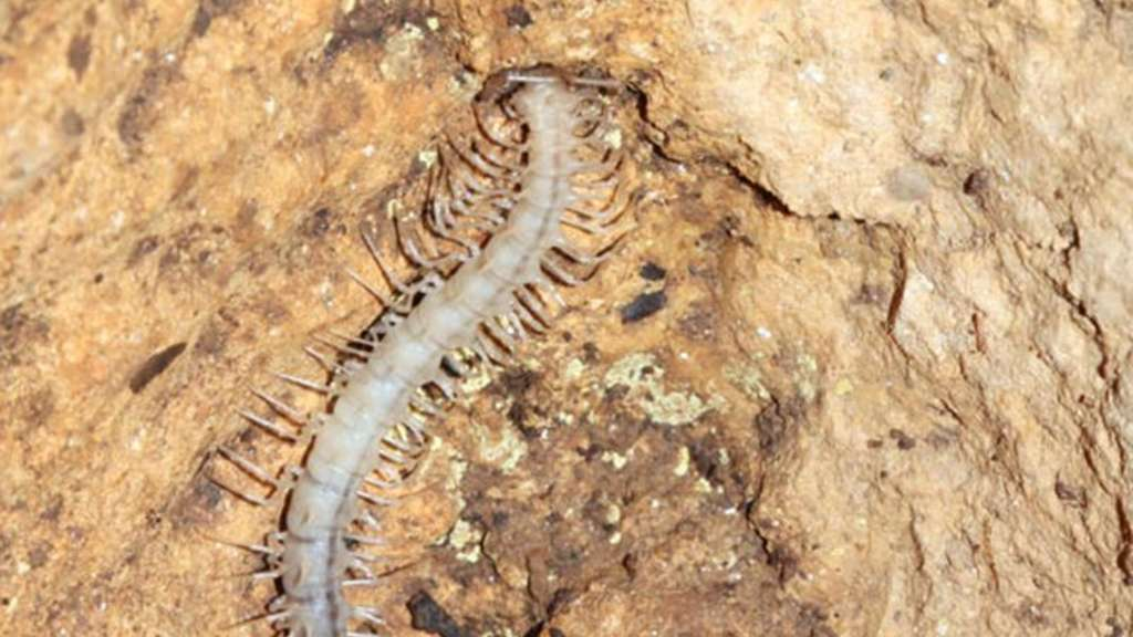 "Dieser ""Gespenster-Drachentausendfüßer"" (Desmoxytes similis) lebt in der Fengliu Dong Höhle in China. Foto: Sunbin Huang/Xinhui Wang/South China Agricultural University"