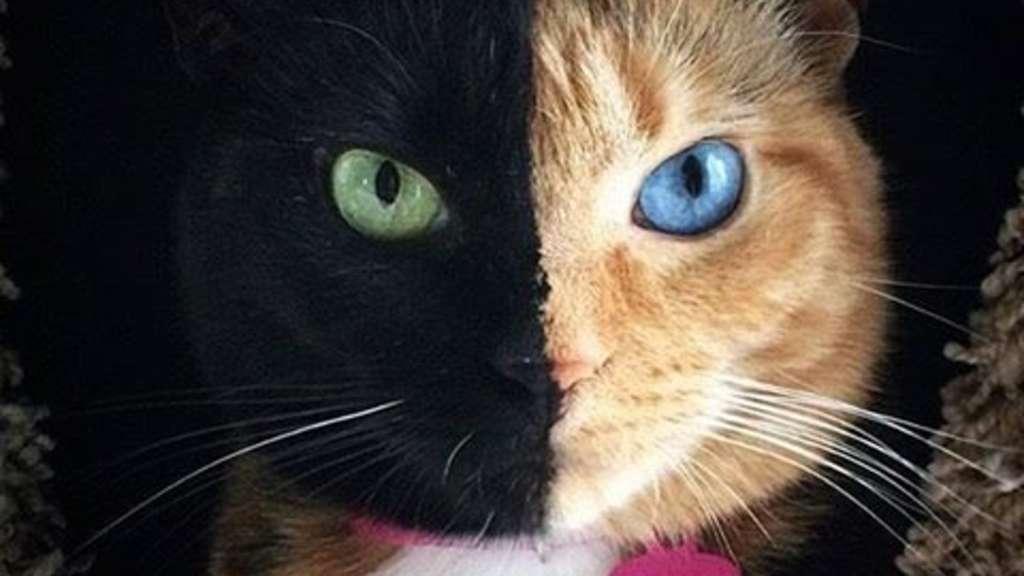 venus ist eine katze mit zwei gesichtern und damit ein internetstar l uft. Black Bedroom Furniture Sets. Home Design Ideas