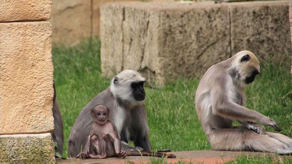 Die Affen im Zoo Hannover haben eine Baby | Niedersachsen