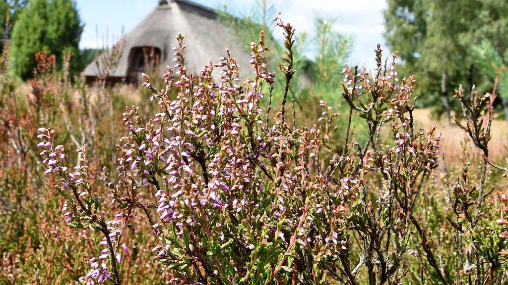 Pflanzen In Der Lüneburger Heide Blühen Niedersachsen