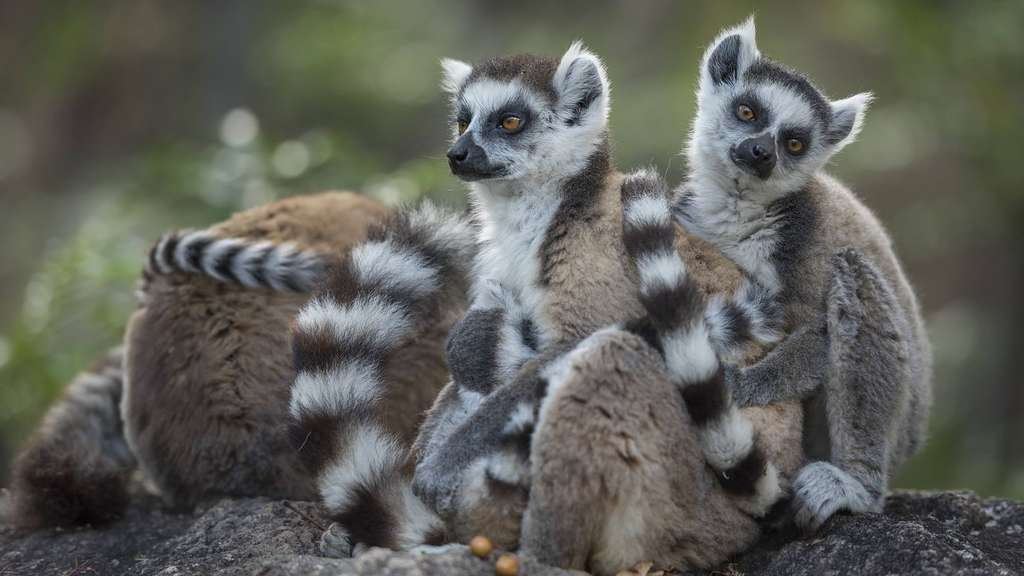 Katta Lemuren Ring tailed lemurs Lemur catta grooming each other Anjaha Community Conservation