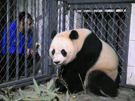 Riesenpanda-Dame Bao Bao im Zentrum zur Forschung für Pandazucht im chinesischen Chengdu.