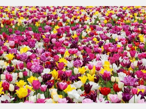 Keine Blume verbreitetderartige Frühlingsgefühle wie die Tulpe. Sie blüht zwischen Anfang und Mitte April - späte Sorten sogar erst ab Mai oder Anfang Juni.