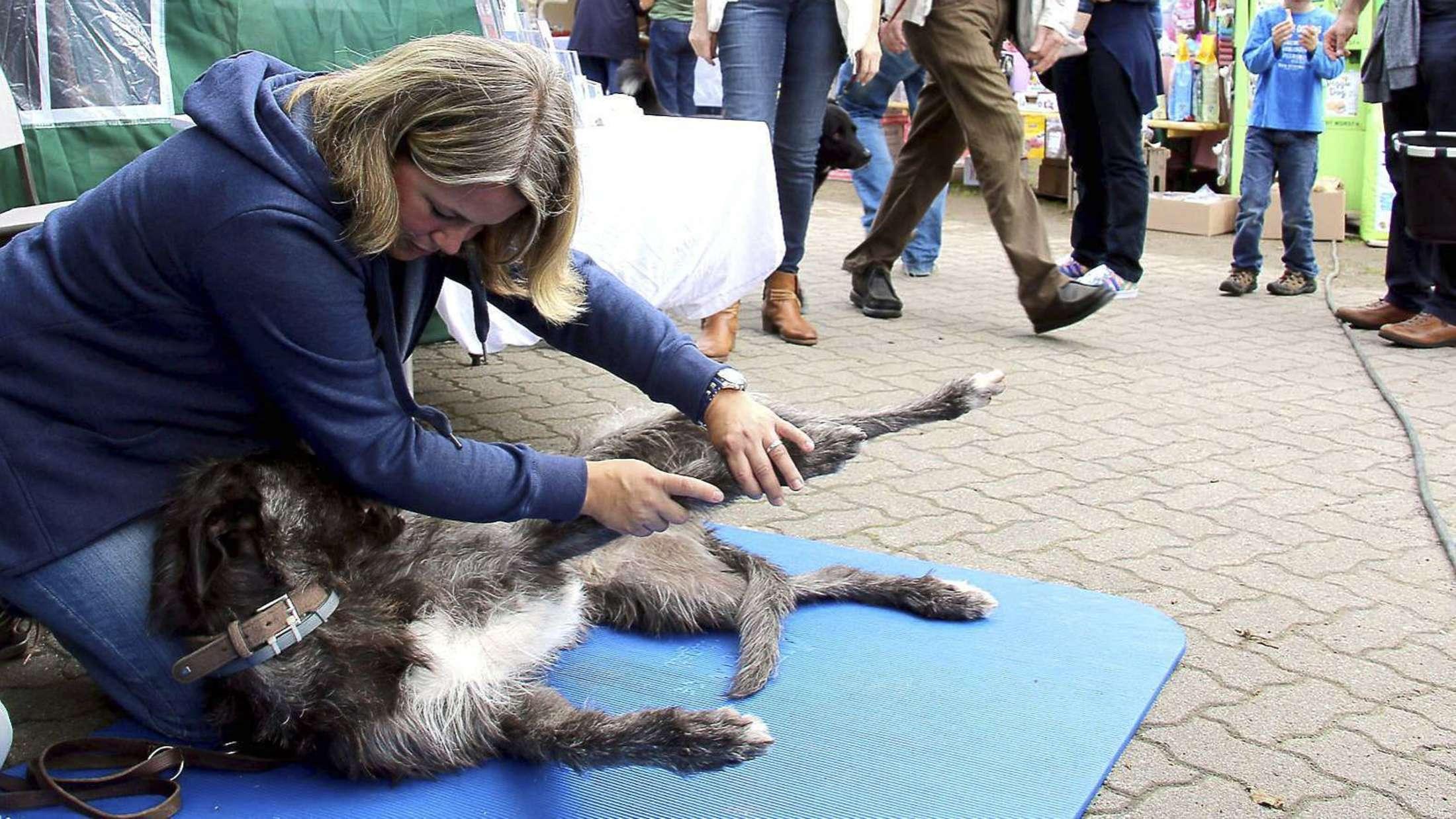 """""""Ove"""" genießt offensichtlich die Behandlung, die ihm Hunde-Physiotherapeutin Janine Hopp angedeihen lässt."""
