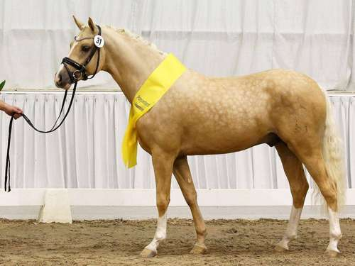 Ponyhengstkörung: Sieger ist Palomino D-Gold AT