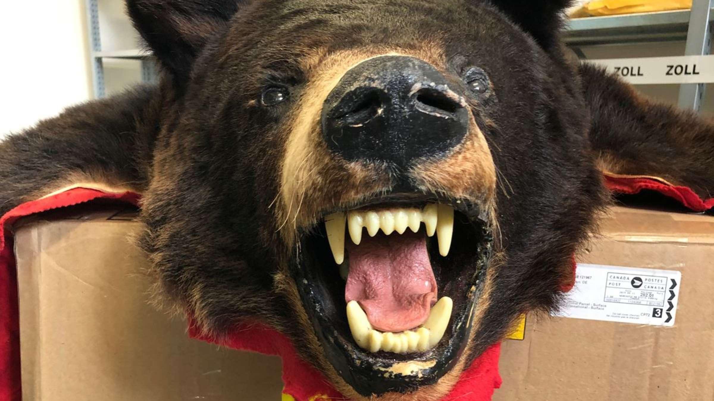 Da Ist Der Bär Los Mädchen Bekommt Toten Schwarzbären Als