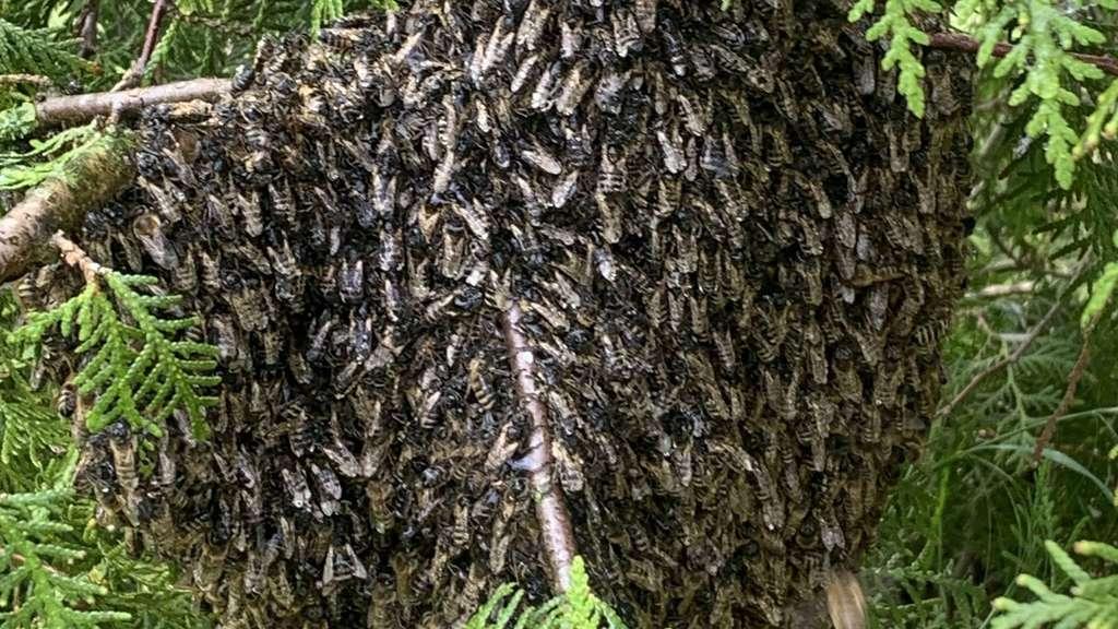 Eine Bienentraube, die der Imker in Diepholz geborgenhat.