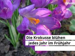 1 Million Krokusse blühen in Bremen-Oberneuland.
